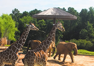 On 85 beautiful acres in Tyler, Texas, Caldwell Zoo has more than 3, animals to amaze and educate your whole family. You'll discover animals roaming over plains, swimming in ponds or climbing trees in multi-species environments carefully created to represent their natural North American, South American and East African habitats.